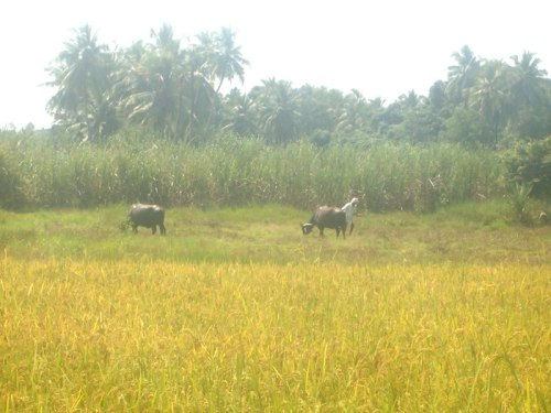 A farmer with cattle on his paddyfields