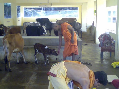 Vishwaprasanna Teertha Swamiji of Pejawara Math Udupi taking care of the cattle at the Neelavara shelter